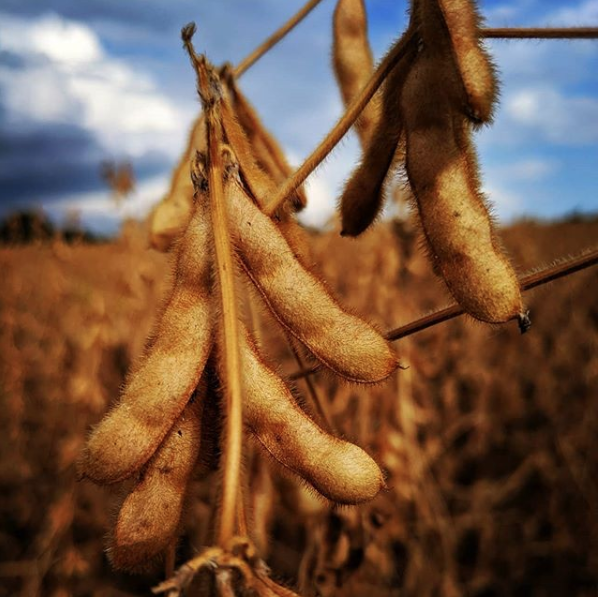 soybean in field