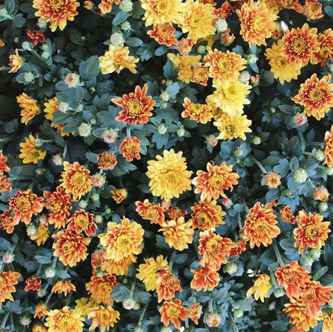 pic of yellow and orange mums