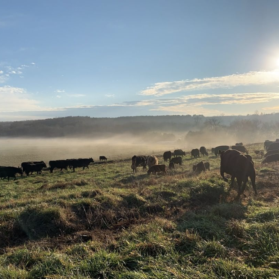 cows in a field with fog