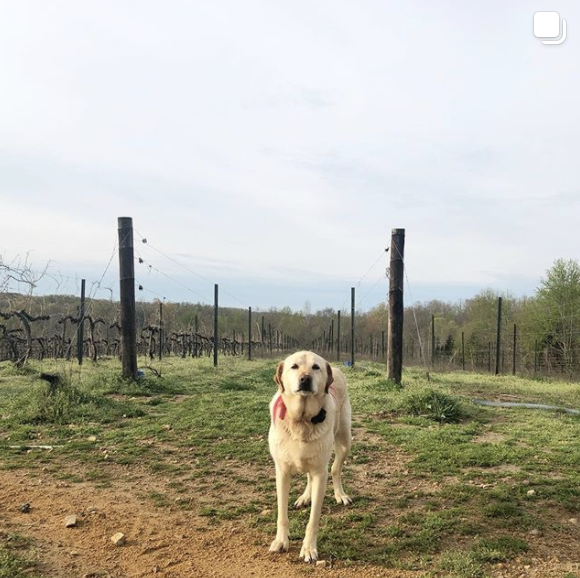 Dog in a vineyard